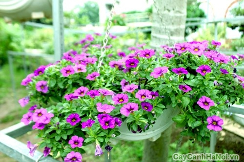 Luôn tạo độ ẩm cho hoa Triệu Chuông