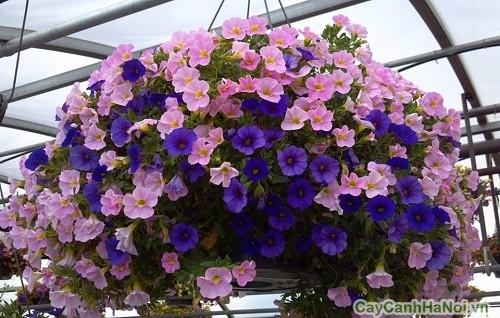 Trang trí tiểu cảnh sân vườn với hoa Triệu Chuông