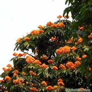 Cây hoa vàng anh được trồng nhiều trong đô thị