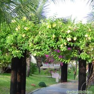 Cây hoa Huỳnh Anh trong sân vườn biệt thự