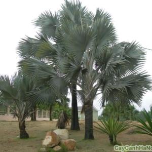 Với những cây to lớn cần lưu ý chế độ chăm sóc khi chuyển cây