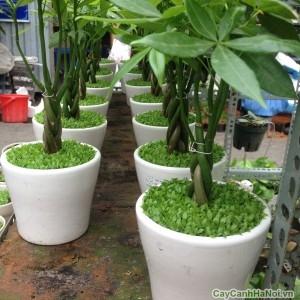 Cây kim ngân cỏ có tên gọi khác là cây may mắn