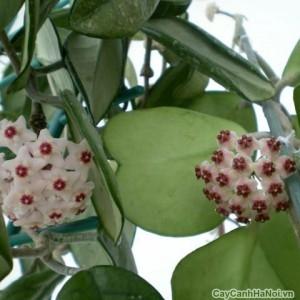 Cây Lan Cẩm Cù có lá hình trái tím rất đẹp