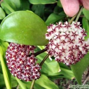 Hoa cây Lan Cẩm Cù