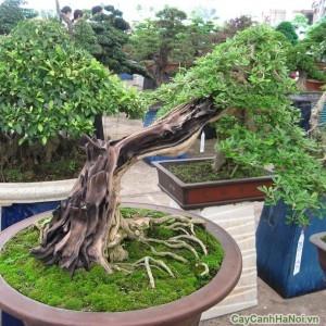 Cây Linh Sam tại vườn cây cảnh