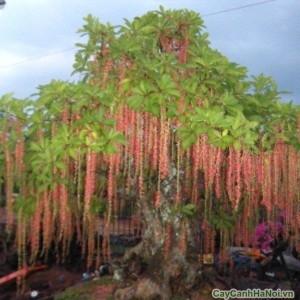 Cây Lộc Vừng với dây hoa đỏ