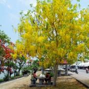 Cây Osaka có tán lá rộng, hoa đẹp đặc sắc, được dùng làm cây cảnh
