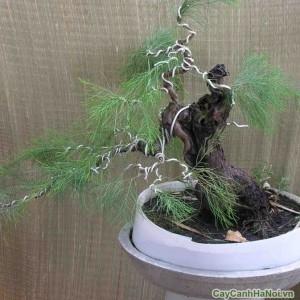 Tạo được nhiều kiểu dáng cho cây Phi Lao