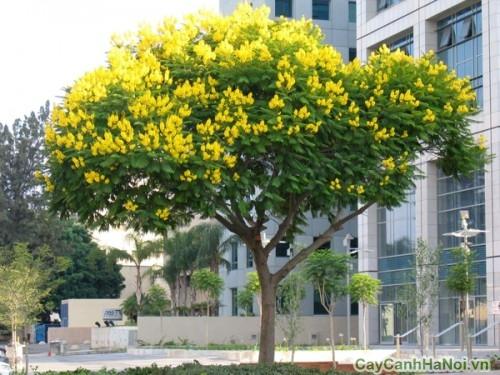 cây Sao Đen nhưng hoa lại vàng