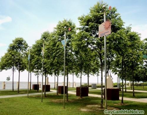 Hàng cây Sao Đen tỏa bóng mát trong công viên