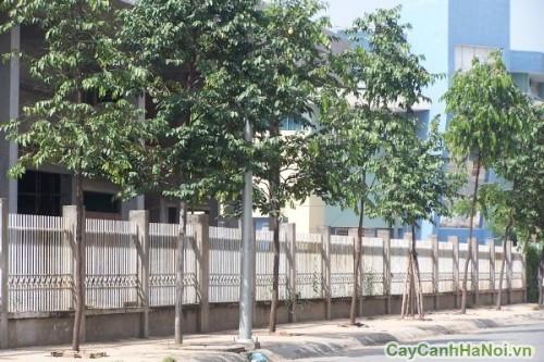 Hàng cây Sao Đen trên đường phố