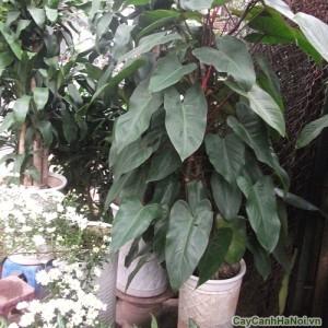 Cây Saphia mang màu xanh đến cho hu vườn
