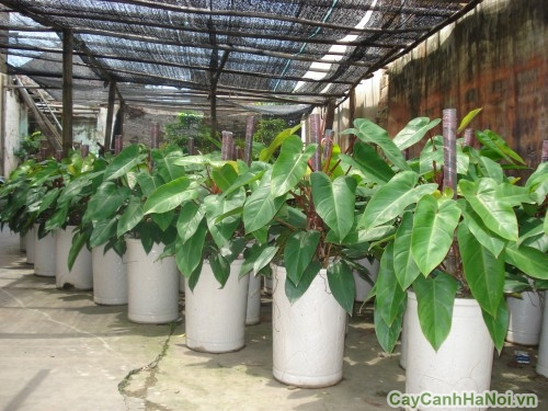 Chăm sóc cây Saphia tốt