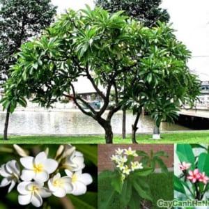 Cây Sứ Đại với hoa màu trắng
