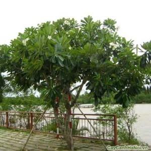 Cây Sứ Đại làm bóng mát cần lưu ý khi đáng rễ cây