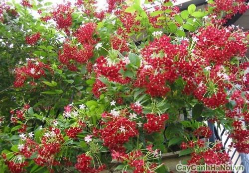 Sắc đỏ hoa Sử Quân Tử