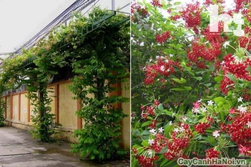 Hoa Sử Quân Tử leo trang trí vườn nhà