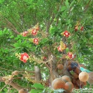 Cây Tha La trĩu quả