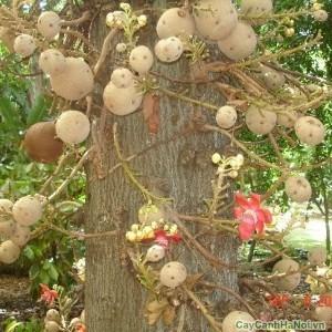 Cây Tha La có quả hồ lô