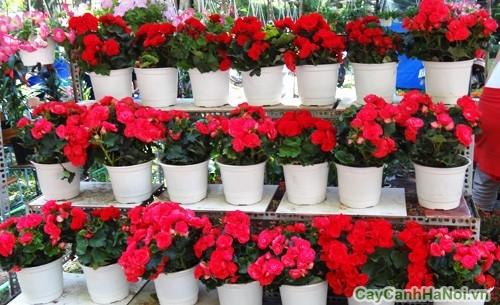 Dàn hoa Thu Hải Đường