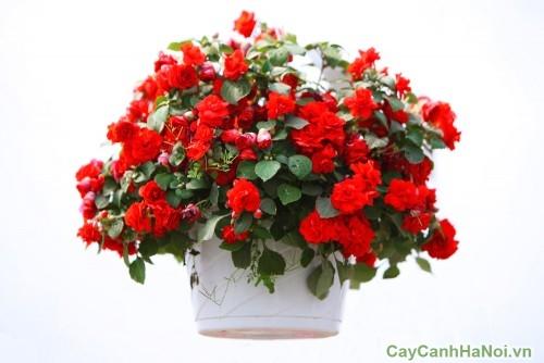 Cây hoa Thu Hải Đường được trồng thành giỏ tuyệt đẹp