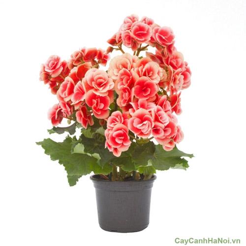 Cây hoa Thu Hải Đường cũng được dùng làm quà tặng