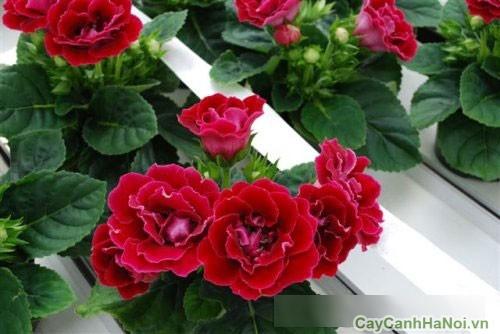 Cây hoa Thu Hải Đường được trồng làm đường viền
