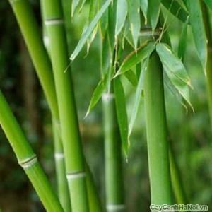 Cây Trúc Phát Lộc đã được tương truyền từ xa xưa
