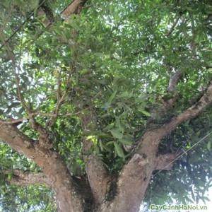 Cây Vối làm cây bóng mát