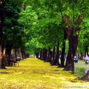 Cây Xà Cừ trên đường phố Hà Nội