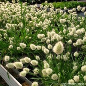 Cỏ Đuôi thỏ trong bồn hoa