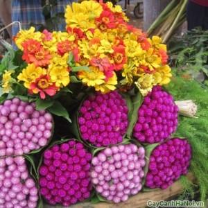 Những bó hoa Cúc áo tím