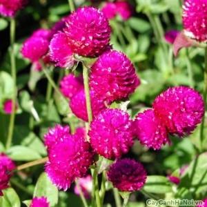 Hoa Cúc nút áo nhìn tròn tròn như kẹo gôm