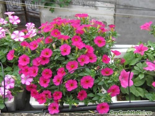 Hoa dạ yến thảo là loài hoa ban công phổ biến