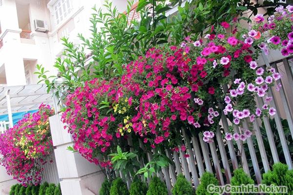 Nên tưới nước cho hoa hằng ngày vào buổi sáng và tối