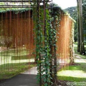 Dây Liêm Hồ Đằng trang trí trong sân vườn