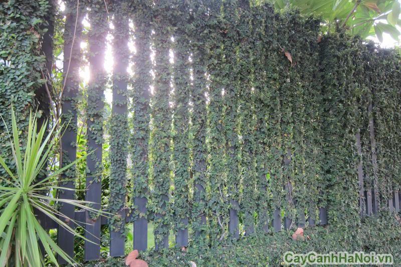 Dây Thằn Lằn cũng được tạo thành một vườn cây trên tường