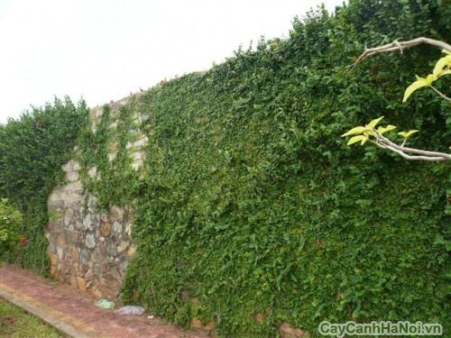 Tạo vườn tường đẹp với dây Thằn Lằn