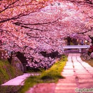Con đường tràn ngập hoa Anh Đào
