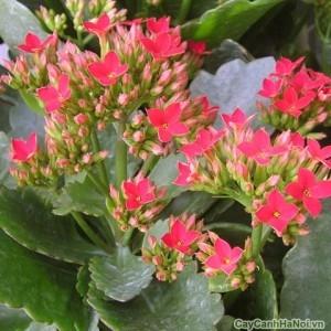 Hoa Bỏng màu hồng đỏ đẹp
