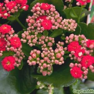 Hoa Bỏng có nhiều màu sắc mang sức sống bền bỉ