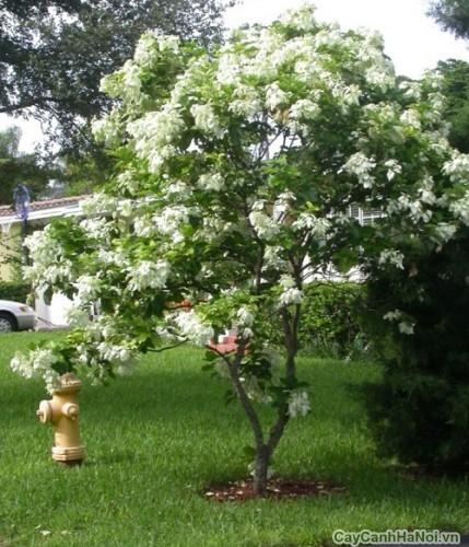 Cây hoa Bướm Bạc trong vườn