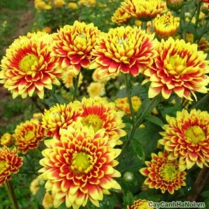 Hoa Cúc Đà Lạt với sự hòa trộn giữa màu sắc đỏ và vàng