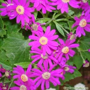 Hoa Cúc Đà Lạt lá nho