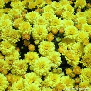 Sắc vàng hoa Cúc Mâm Xôi tượng trưng tài lộc