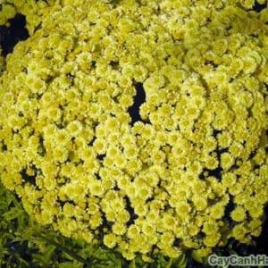Những bông hoa Cúc Mâm Xôi nhỏ xinh