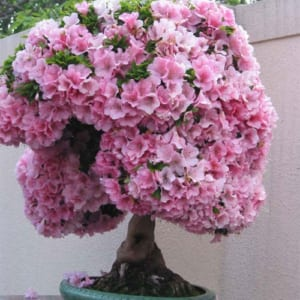 Cây hoa Đỗ Quyên bonsai