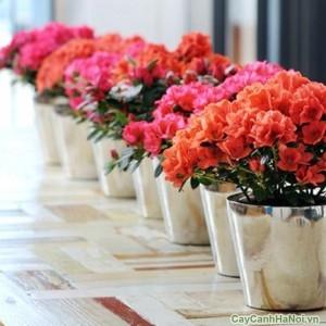 Hàng hoa Đỗ Quyên bonsai