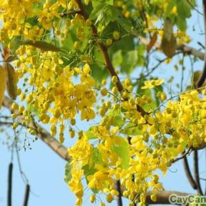 Cây Hoàng Hậu phát triển tốt tại khu vực nhiều nắng và thoát nước tốt