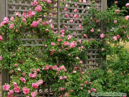 Vườn thẳng đứng với cây hoa Hồng Leo